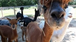 Visit This Connecticut Alpaca Farm For A Fun And Fuzzy Adventure