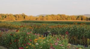 The Dreamy Flower Farm Near Buffalo You'll Want To Visit This Summer