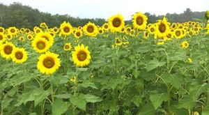 This Wondrous Sunflower Farm In Massachusetts Is The Definition Of Summer Magic