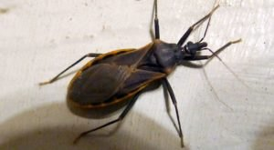 A Parasitic Bug Has Been Spotted In Missouri And Its Bite Can Be Deadly