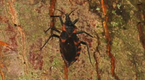 A Parasitic Bug Has Been Spotted Throughout Louisiana And Its Bite Can Be Deadly