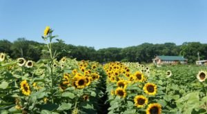 Pick Your Own Sunflowers At This Charming Farm Hiding In Rhode Island