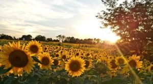 5 Magical Places Around Cincinnati Where You Can Walk Amongst The Sunflowers