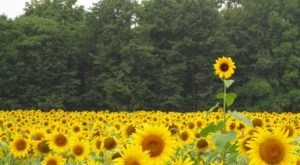 Most People Don't Know About This Magical Sunflower Field Hiding In Minnesota