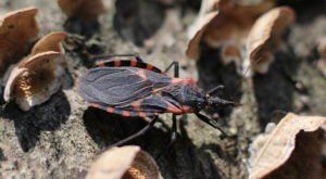 A Parasitic Bug Has Been Spotted Throughout Cincinnati And Its Bite Can Be Deadly