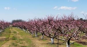 Have A Peachy Arkansas Summer At This Pick-Your-Own Fruit Orchard
