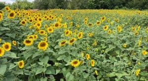 Plan A Visit To Kentucky's Downright Enchanting Sunflower Field