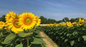 This Sunflower Maze Is One Of The Most Underrated And Beautiful Places In Illinois