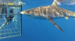 This Shark Cage Dive Off The Coast Of Hawaii Is Not For The Faint Of Heart