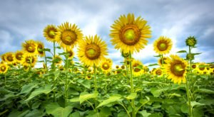 This U-Pick Sunflower Farm In North Carolina Will Enchant You Beyond Words