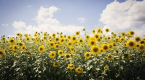 This Upcoming Sunflower Festival In Massachusetts Is A Fun And Beautiful Way To Spend A Day