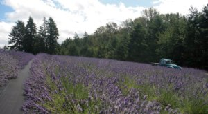 Get Lost In This Beautiful Lavender Farm In Oregon