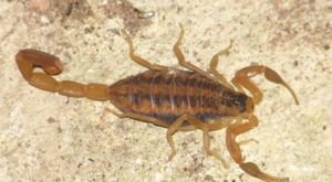 Scorpions Are Scampering To Safety From This Flooded Lake In Kansas