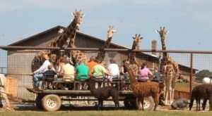 The Wagon Ride Through Lazy 5 Ranch, An Interactive Safari In North Carolina, Is A Fun Adventure
