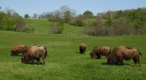 Buffalo Roam Free At The 7,000-Acre Battelle Darby Creek Metro Park In Ohio