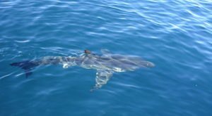 Great White Sharks Have Been Sighted All Along The Northern California Coast This Summer