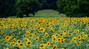 Few People Know This Historic Arkansas Park Also Has A 12-Acre Sunflower Field