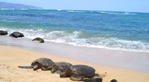 You'll Want To Visit This Hawaii Beach Famous For Its Population Of Sea Turtles