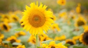 This Upcoming Sunflower Festival In Wooster Is The Best Summer Road Trip From Cleveland