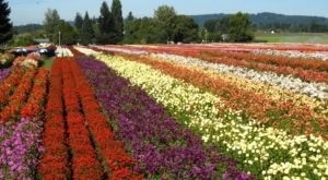 Wander Through 40 Acres Of Dahlias At This Oregon Flower Festival
