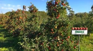 LynOaken Farms Near Buffalo Has 350 Delicious Apple Varieties Prime For The Picking