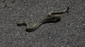 Venomous Snakebites Have Hit An All-Time High In Texas This Year