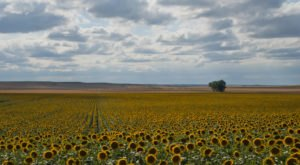 North Dakota Is Having A Sunflower Superbloom And It's Incredible To See