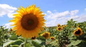 This Upcoming Sunflower Festival In Oregon Will Make Your Summer Complete