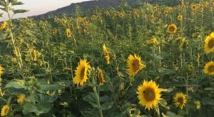 The Sunflower Jubilee In Arkansas Will Have You Ready For Fall