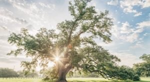 Most People Don't Know Some Of The Oldest Trees In The World Are Found In New Orleans