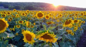 You'll See Beautiful Fields Of Gold At These 5 Kansas Sunflower Fields