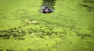 The Toxic Blue-Green Algae Responsible For Killing Dogs Around The U.S. Has Been Found In Vermont