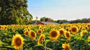This Upcoming Sunflower Festival In South Carolina Will Make Your Summer Complete