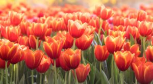 San Antonio Is Planting A Massive U-Pick Tulip Field For Spring 2020