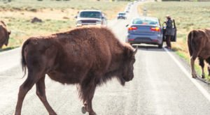 Here's How To Stay Safe Around Wildlife In Yellowstone National Park
