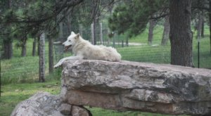 Not Many People Know About This Wolf Sanctuary Right Here In South Dakota