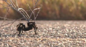 The Small Town In Colorado That's Invaded By Thousands Of Migrating Tarantulas Each Year