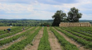 Pick Your Own Blueberries At This Charming Farm Hiding In New York