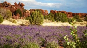 Get Lost In This Beautiful 35,000-Plant Lavender Farm In Arizona