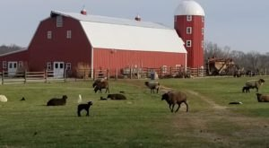 Hang Out With Sheep On This Working Farm In Oklahoma
