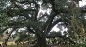 At Over 200 Years Old, One Of The Oldest Living Trees In Alabama Can Be Found In Geneva