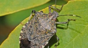 Stink Bugs Are Starting To Invade Kentucky Homes As Cooler Weather Approaches