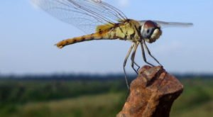 A Massive Swarm Of Dragonflies Is Hovering Over Ohio And It Could Bring Good Luck