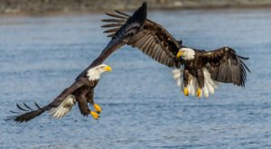 Ogle At 4,000 Majestic Eagles At Haines' Annual Bald Eagle Festival This Fall