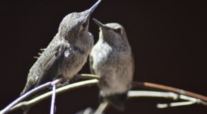 Thousands Of Hummingbirds Are Headed Straight For Tennessee This Fall