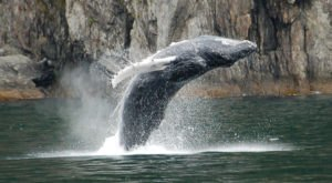 Hang With Humpback Whales During Their Annual Migration In Alaska This Autumn