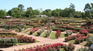 See 38,000 Beautiful Flowers In Bloom At The Texas Rose Festival