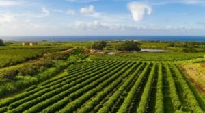 Enjoy A Tour Of America's Largest Commercial Coffee Orchard At Kauai Coffee Company In Hawaii