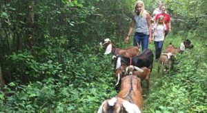 Go Hiking With Goats In The Town Of Ada For A Unique Michigan Adventure