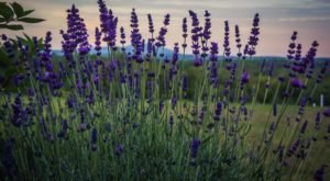 Pick Your Own Lavender In Massachusetts At The Fall Lavender Festival At SummitWynds